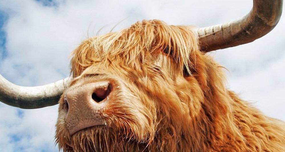 Lykkelige dyr gir godt kjøtt