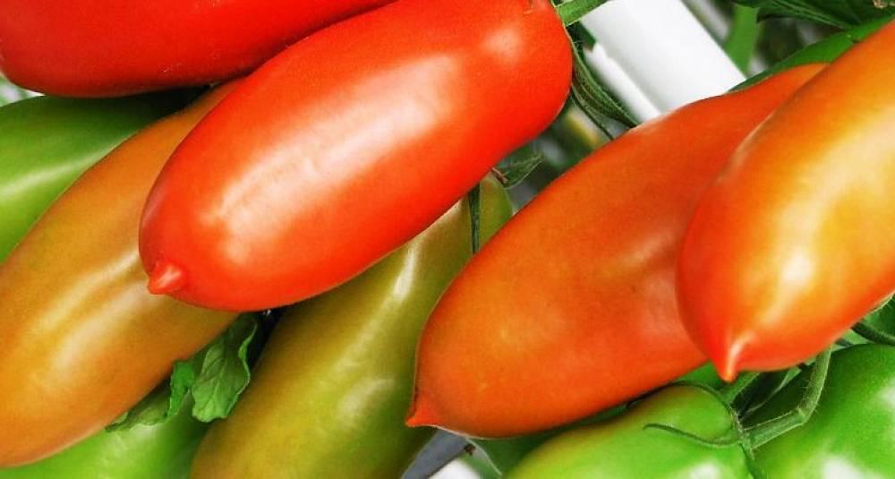 Dette er verdens beste tomat