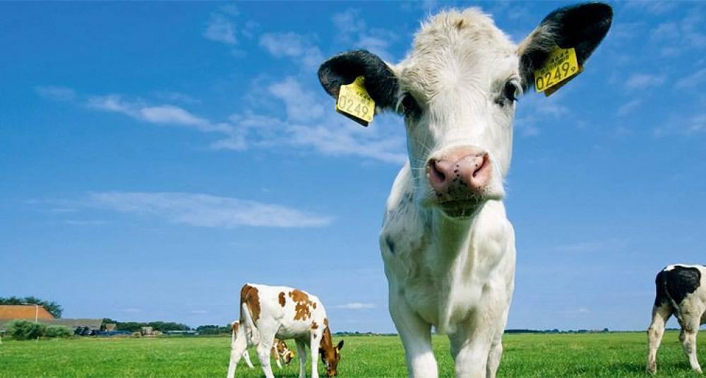 Norske matbedrifter skårer dårlig på dyrevelferd