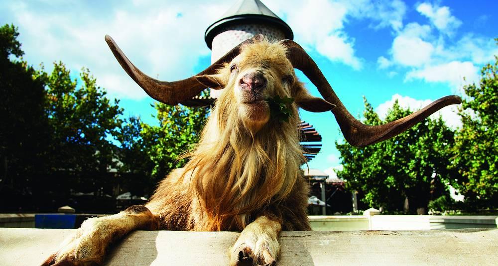 Denne geita har gjort vinene fra Swartland berømt