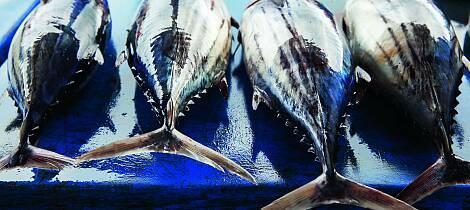 Kan du spise blåfinnet tunfisk med god samvittighet?