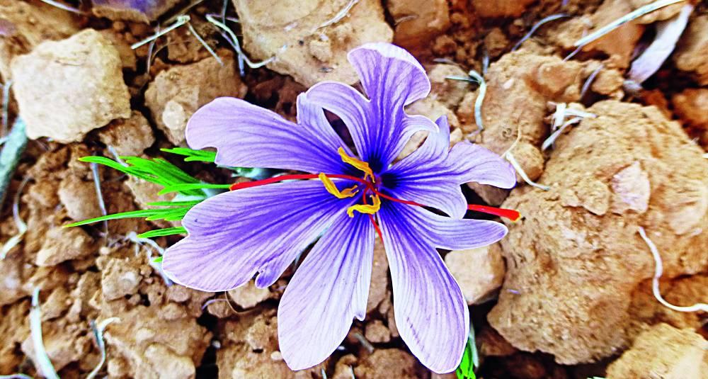 Denne blomsten gir verdens dyreste krydder