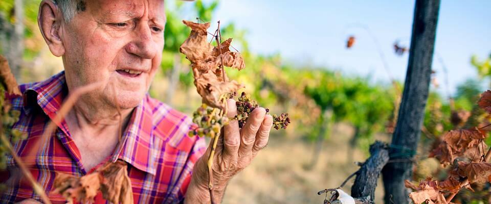 Co2-utfordringene med kan overvinnes med GMO-druer