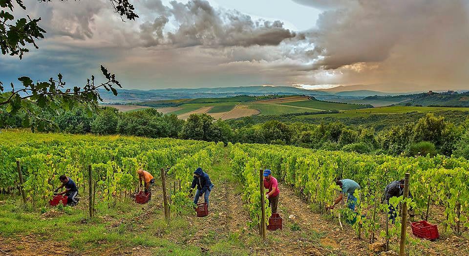 Harvest_Poggio al Vento.jpg [125.94 KB]