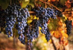 Fordyp deg i sangiovesedruens kvaliteter med Master of Wine Sebastian Bredal