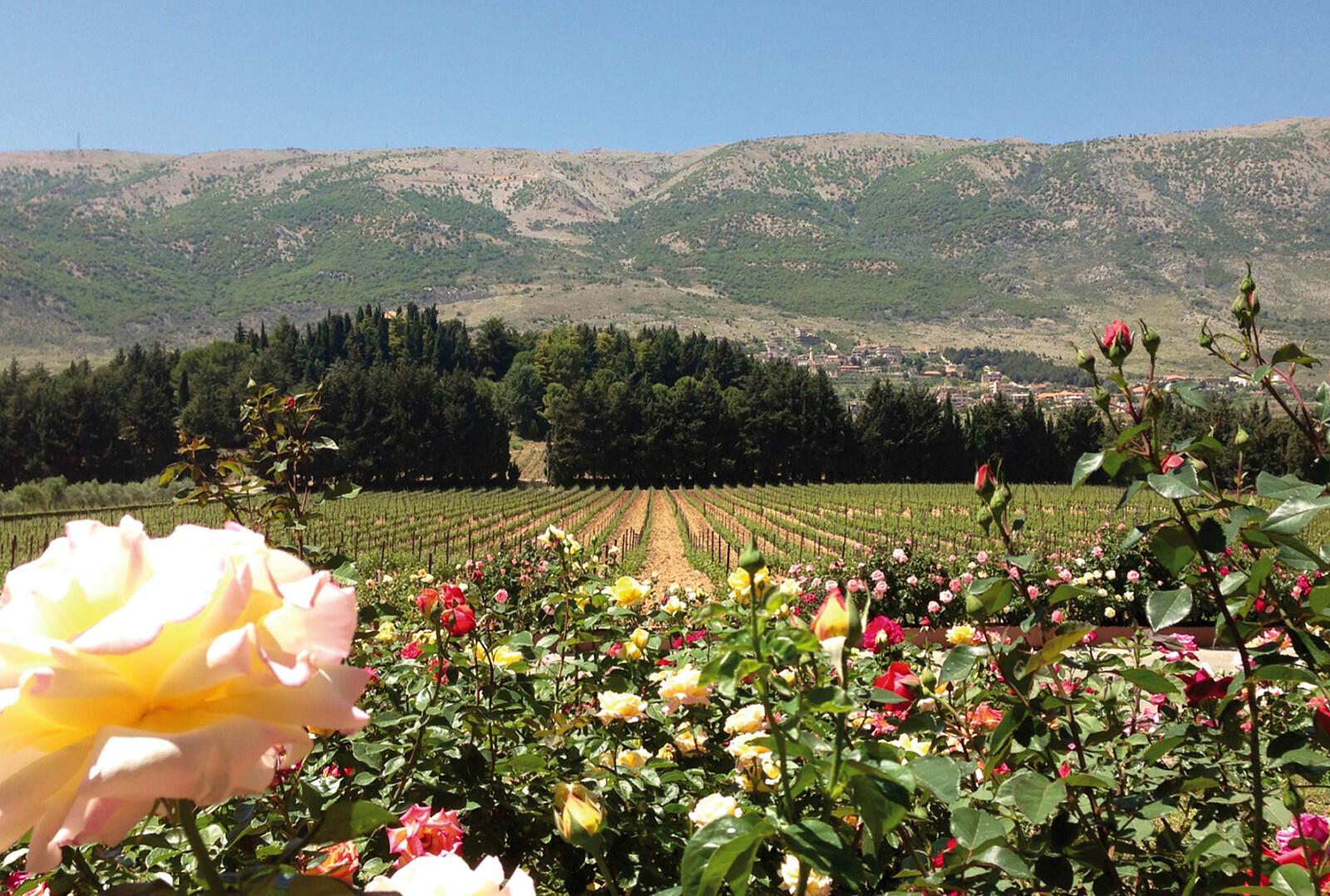 vineyard blooming.jpg [2.96 MB]