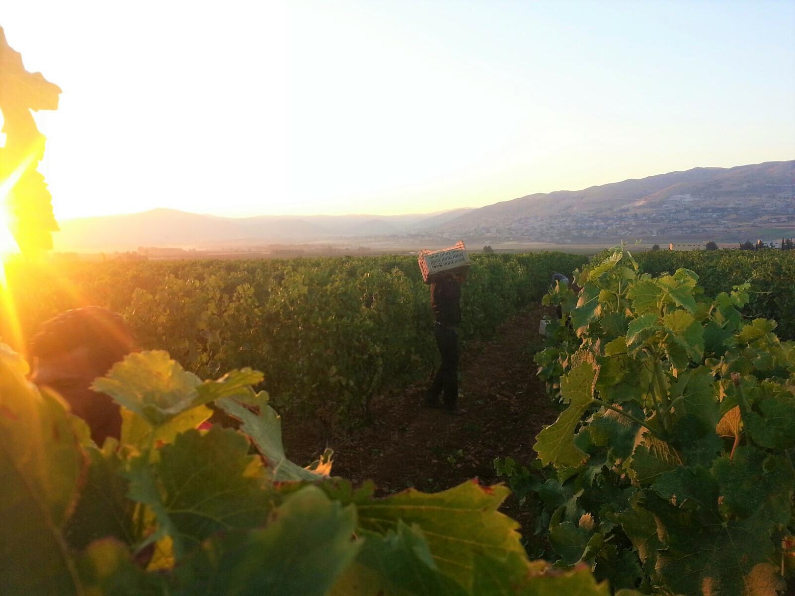 vineyard 4.jpg [302.83 KB]